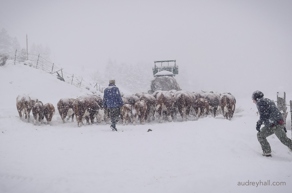 In an unrelenting early storm, John and Hugh move cows to lower pastures for the winter.
