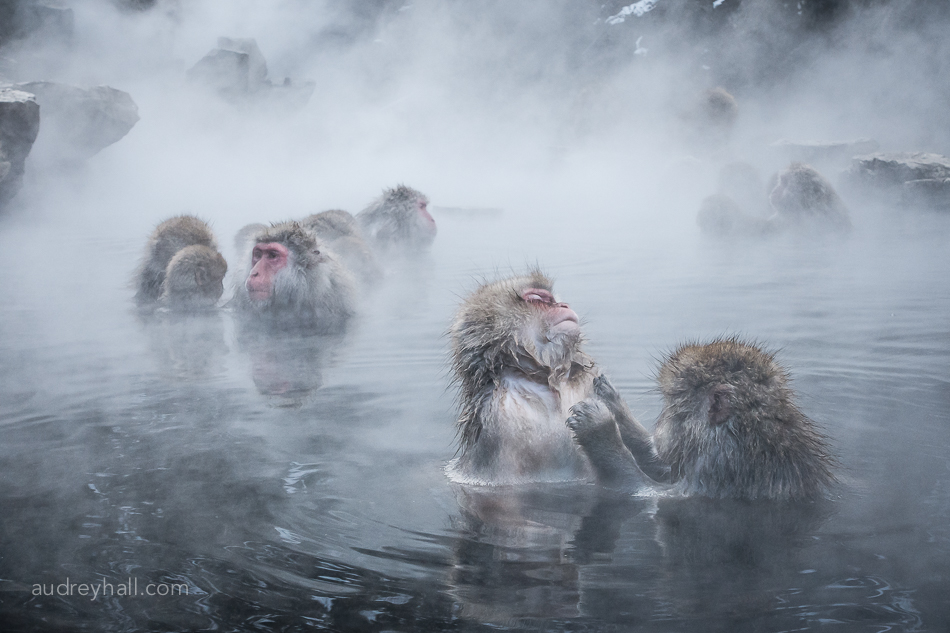 Macaques Grooming in Hot Water