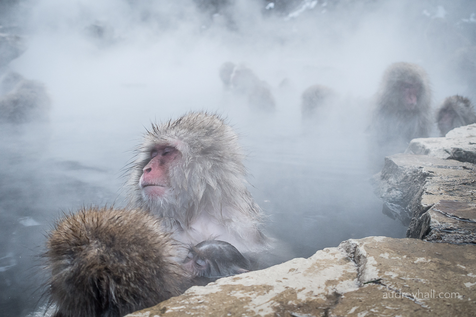 Macaque in Hot Springs